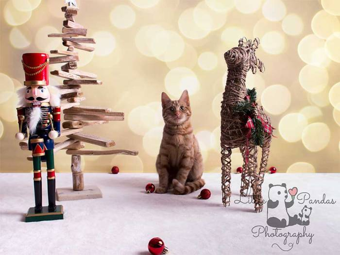 Hythe Kent photographer cat christmas pet photography